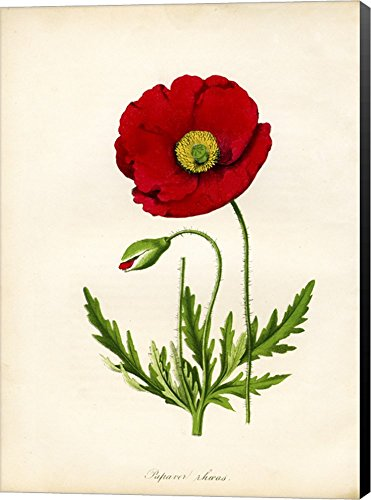 Papaver Rhoeas, Red Poppy by Print Collection Canvas Art Wall Picture, Museum Wrapped with Black Sides, 27 x 38 inches