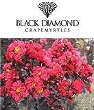 Black Diamond Best RED Crape Myrtle - Size: 3 Gallon, Live Plant, Includes Special Blend Fertilizer & Planting Guide