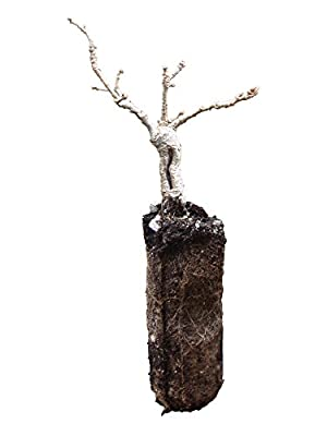 Bonsai Black Oak Tree