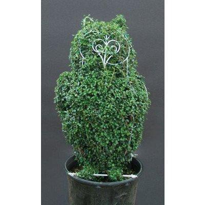 トピアリーフクロウ(キンメツゲ(金芽ツゲ)) 植木 B00SR48J6S