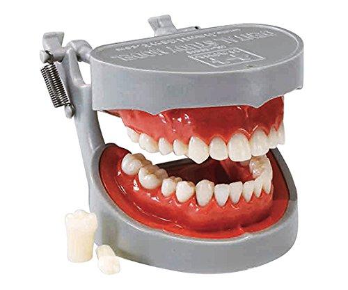 歯牙模型 ソフトタイプ /7-3818-01   B07BL4Z35P