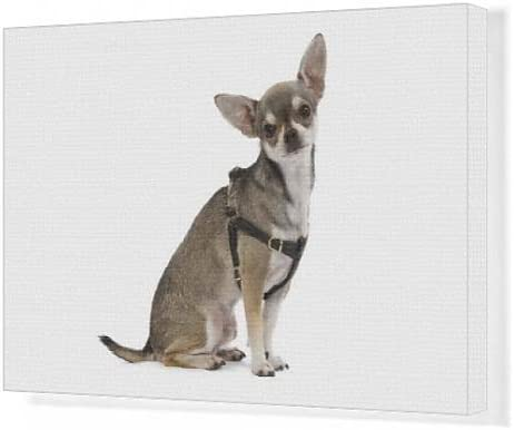 Cuadros en lienzo de perro - Chihuahua corto-de pelo arnés con ...