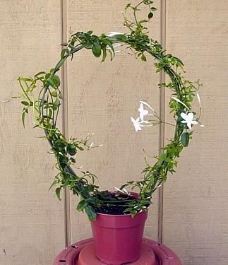pink plant jasminum polyanthum fragrant 2 5 quot pot in the uae see prices