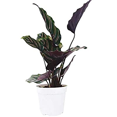 "Cheap Fresh Calathea Ornata Plant 4"" Pot Live Houseplant Free Care Guide Get 1 Easy Grow #HPS01YN : Garden & Outdoor"