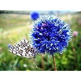 "GARTHWAITE NURSERIES® : - 10 Allium ""Caeruleum"" Bulbs (Azureum) Deep Sky Blue Fragrant Hardy Summer Perennial"
