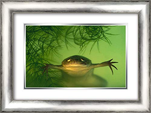 African Clawed Frog Aquatic, Native to Africa 24x17 Silver Contemporary Wood Framed and Double Matted Art Print by Koch, Heidi and ()