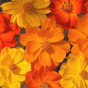 David's Garden Seeds Wildflower Lady Bird Dwarf Mixture D3287W (Multi) 500 Open Pollinated Seeds