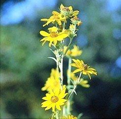 David's Garden Seeds Sunflower Maximilian Dwarf Branching D3329 (Yellow) 1000 Open Pollinated Seeds