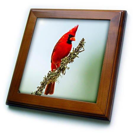 3dRose Danita Delimont - Birds - USA, Texas, Hidalgo County. Male cardinal on limb. - 8x8 Framed Tile (ft_260071_1) (Bird Tile)