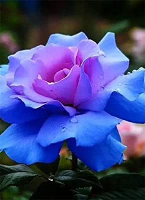 100 pcs Blue-Pink Rose Seeds ariety Rare Plant Exotic Succulent Seed Flowering Pot Climbing Home Garden