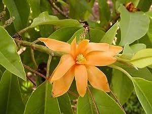 Ngọc Lan Vang - Golden Champaca Magnolia - 4 Feet or Talle