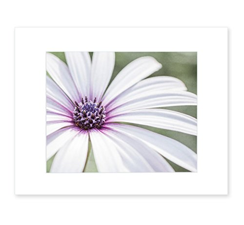 Large White Daisy Flower Picture, Floral Wall Art, 8x10 Matted Photographic Print (fits 11x14 frame), 'Bed of (Matted Nature Picture Art)
