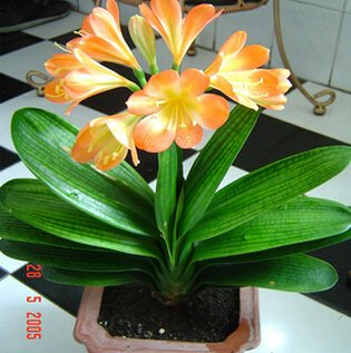 Amazon.com : free10pcs/lot Indoor potted flowers Clivia seeds, seed ...