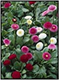 Todd's Seeds English Daisy (Bellis Perennis) Double Mix Seed - 1g Seed Packet