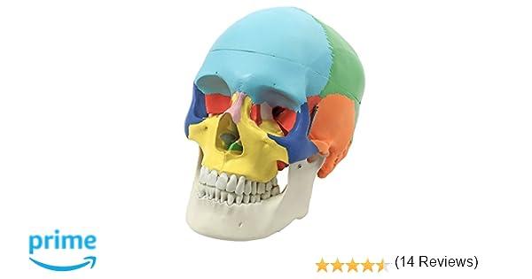 S24.2134 - Craneo humano didáctica, coloreado, 3 piezas: Amazon.es ...