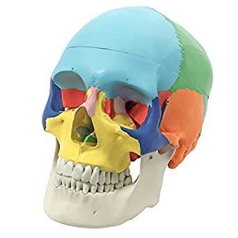 Wellden Anatomical Skull Model Didactic Color Painted 3 Part Life Size
