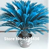 Hot Sale!!! Rare Blue Cycas seeds, Sago Palm Tree, bonsai flower, the budding rate 98% potted plant for home garden, 100pcs/ bag