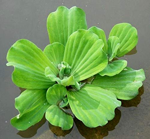 Aquatic Discounts 1 Large Water Lettuce - Live Floating Plant for Your Aquarium or Pond