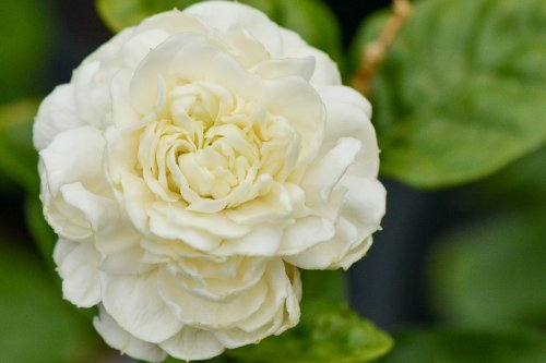 Arabian Jasmine Plant''Grand Duke of Tuscany'' - Fragrant Plant - 6'' Pot by Thai Greenhouse (Image #2)