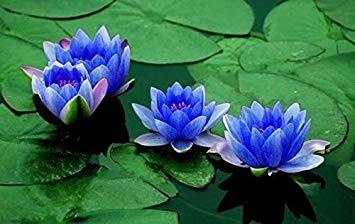 Aquatic Plant Sapphire Dwarf Lotus Flower 5 Seeds indoor/outdoor