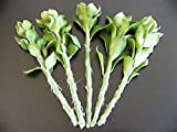 Pereskiopsis Spathulata Grafting Stock Pereskia Cactus Cutting Plant, 50 Cuttings 4''