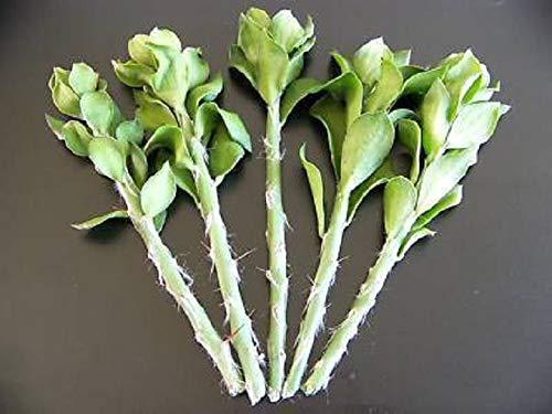 Pereskiopsis Spathulata Grafting Stock Pereskia Cactus Cutting Plant, 50 Cuttings 4'' by fzplant (Image #1)