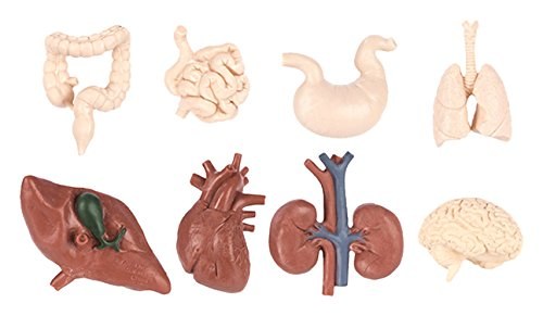 Safari Ltd Human Organs TOOB - Realistic Hand Painted Toy Figurine Models - Quality Construction from Safe and BPA Free Materials - For Ages 3 and Up