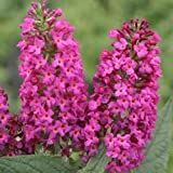 "Miss Ruby Butterfly Bush - Buddleia - Proven Winners - 4"" Pot"