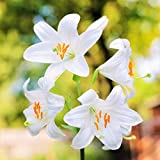 Fragrant White Lilium Candidum Madonna Lily - Large 22/24cm Bulb - Blooming Size!