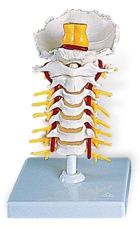 3B社 頚椎模型 頚椎モデル (a72)   B003Z2S8YU