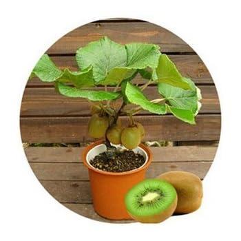 (Kiwi Za#008) Thailand Mini Kiwi Fruit 1pcs/lot(100 Seeds
