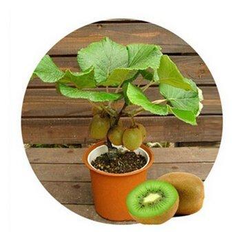 kiwi-za008-thailand-mini-kiwi-fruit-1pcs-lot100-seeds-bonsai-plants-delicious-kiwi-small-fruit-trees