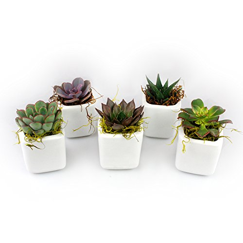 NW Wholesaler - Set of 50 or 100 Live Succulents with Moss and Pots for Wedding Favors, Party Favors or Succulent Gardens (50) by NW Wholesaler (Image #1)