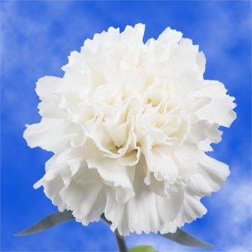 GlobalRose 100 Fresh Cut White Carnations - Fresh Flowers For Birthdays, Weddings or Anniversary.