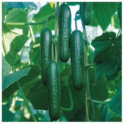 Lumos80 Mini Socrates (F1) Cucumber Seed : Garden & Outdoor