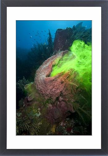 Framed Print of Giant sponge showing how it filters water with the use of dye, Dominica, West