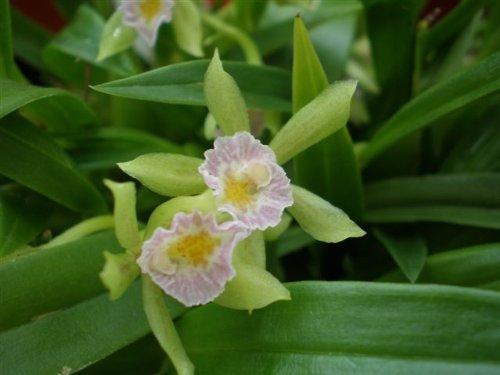 1 blühfähige Orchidee der Sorte: Cischweinfia dasyandra, 9cm Topf
