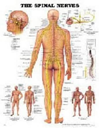 The Spinal Nerves Anatomical Chart Company Amazon Business