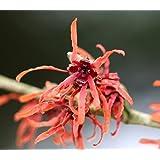 Rote Zaubernuß - Hamamelis intermedia - Diane - Winterblüher, weinrote Blüten ab Januar, 40-60 cm