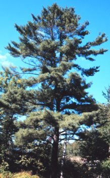 Pinus strobus: Eastern White Pine Seeds
