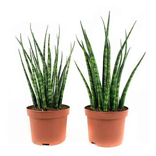 Choice of Green Live Indoor Plant in Growerspot Diameter 10 cm Fresh from The Grower Fernwood Mikado Height 23 cm Quality from Holland Set of 2 Sansevieria Bacularis