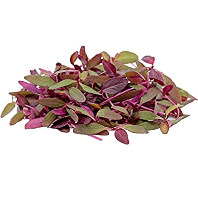MABES WAREHOUSE Red Garnet Amaranth 350 Seeds - Amaranthus Cruentus, Blood Amaranth/Mexican Grain Amaranth, Prince's Feather Red Amaranth Seeds for Planting, Edible Medicinal Flower Seeds for Planting : Garden & Outdoor