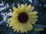 50 LEMON QUEEN SUNFLOWER Helianthus Annuus Flower Seeds