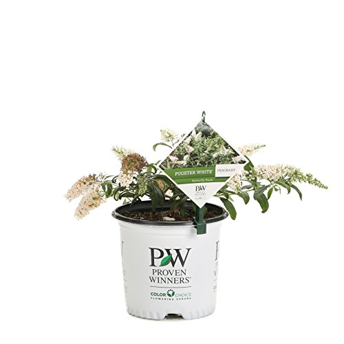 Pugster White Butterfly Bush (Buddleia) Live Shrub, White Flowers, 1 Gallon
