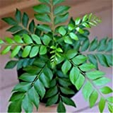 Earth Seeds Co 40 Pcs Curry Leaf Seeds Organic Bonsai Tree Seeds Pot Seeds for Indoor Outdoor Garden