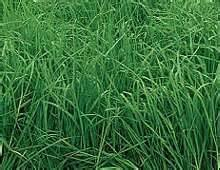 Orchard Grass Seed (Potomac) - 1 Pound - Wizard Seed LLC