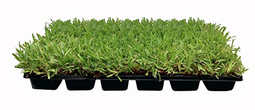 St. Augustine 'Palmetto' 3 Inch Sod Plugs - 18 Plugs - Drought, Salt, Shade, Cold, Heat & Frost Tolerant Turf Grass (Best St Augustine Grass Seed)