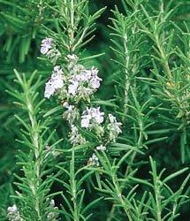 Rosemary BULK 1,000 Seeds Great Garden Herb