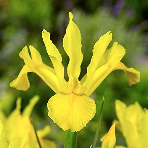 Golden Beauty Dutch Iris - 15 Bulbs