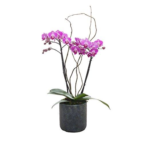 Living Phalaenopsis in Patina Ceramic pot - Petite Magenta Blooms